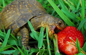 happy-turtle-eating-strawberry2